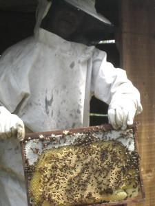 Un cadre de ruchette, avant d'être installé dans la ruche.