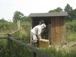 Installation des abeilles noires dans la ruche.